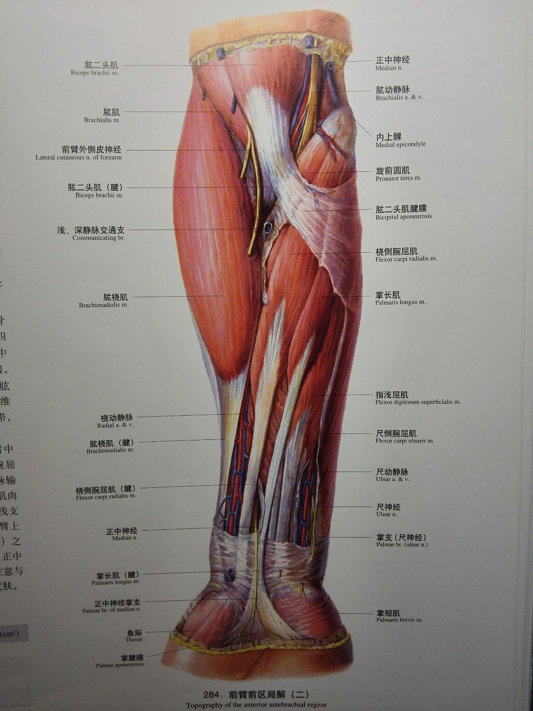 Anatomy of the forearm and hand
