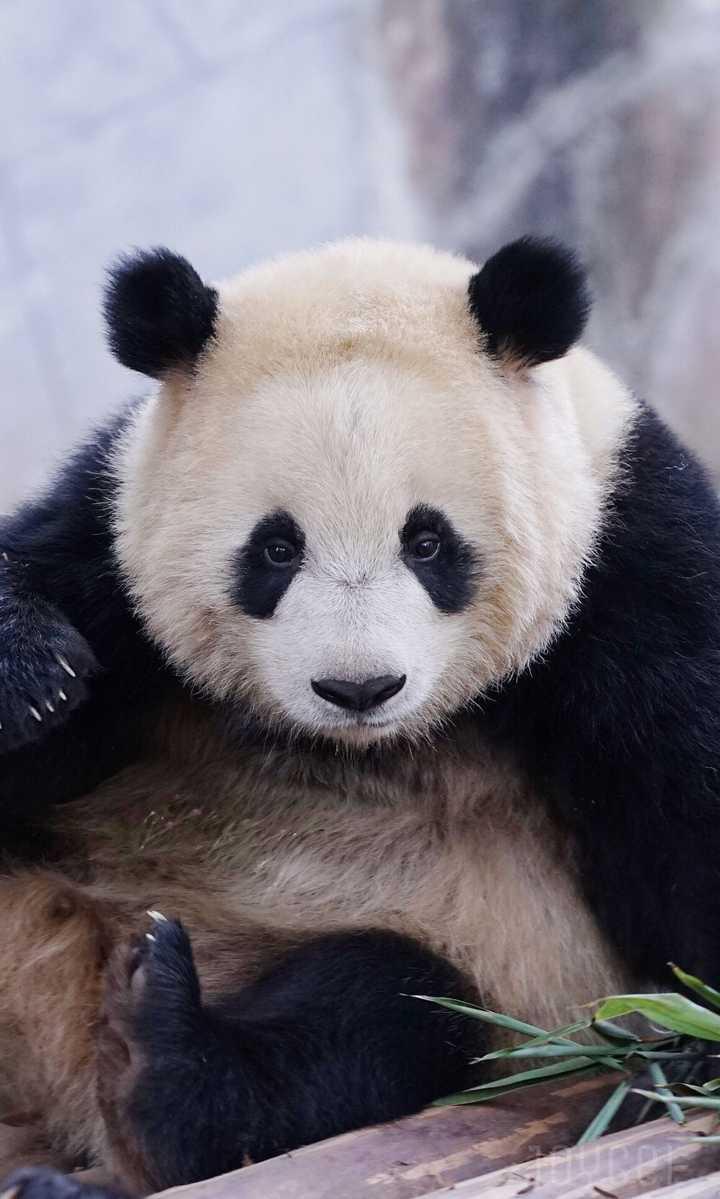 北极熊,黑熊,大熊猫谁最可爱?