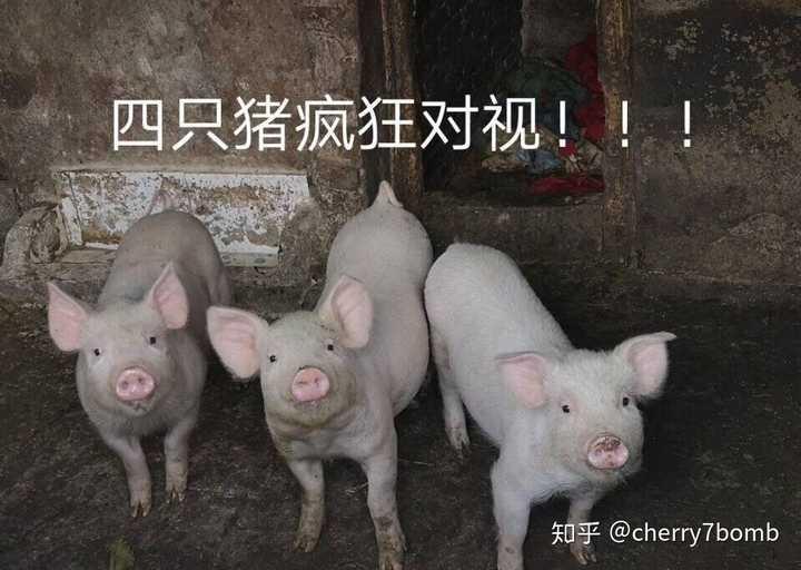 四只猪疯狂对视!图片
