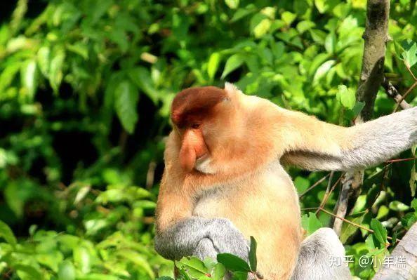 猴子是什么原因_这里面 居住着一群长鼻子的猴子 因鼻子的原因,所以叫长鼻猴 而它们