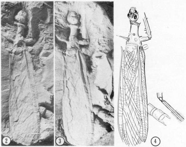 (雄性)化石和结构图.图片来源自[5].