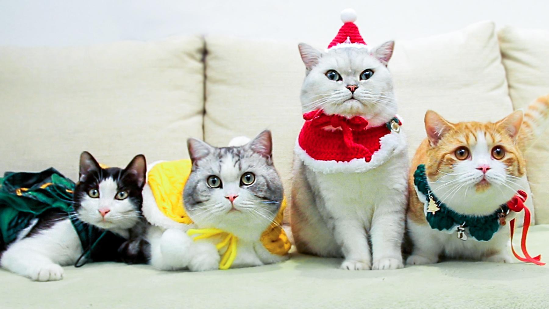 花花与三猫catlive:穿上圣诞装的猫咪怎么会如此可爱!