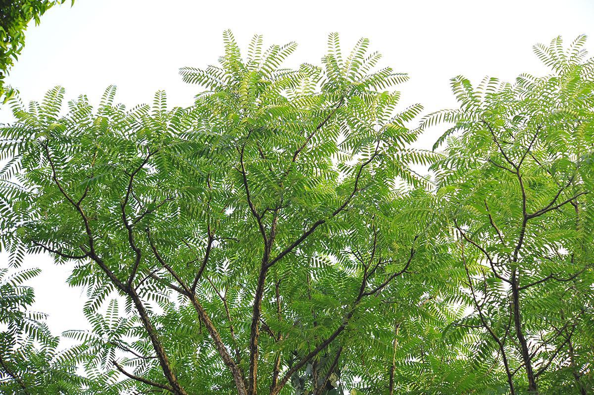 【节气手帖】谷雨:香椿最后的赏味期限