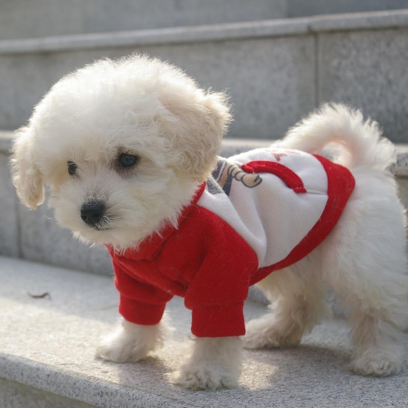 长耳朵短尾巴的狗_如何区分马尔济斯犬、比熊犬、白色贵宾犬? - 知乎
