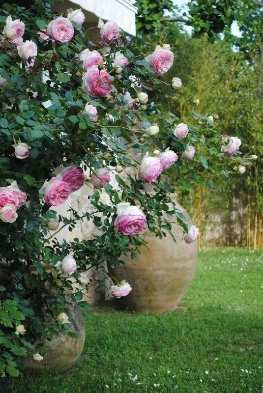 种草莓图片_有哪些适合家里阳台种植的藤本植物? - 知乎