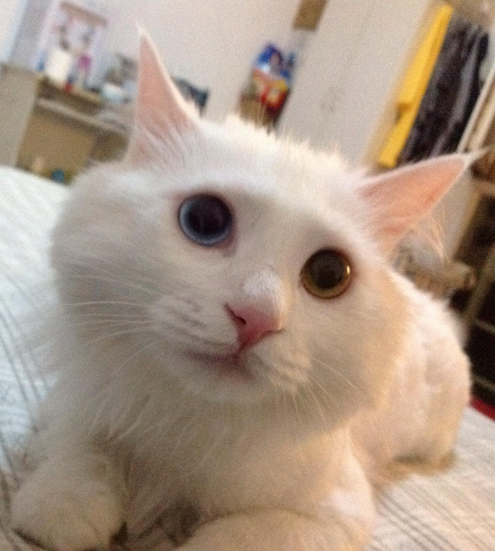 异瞳猫的出现概率高不高?