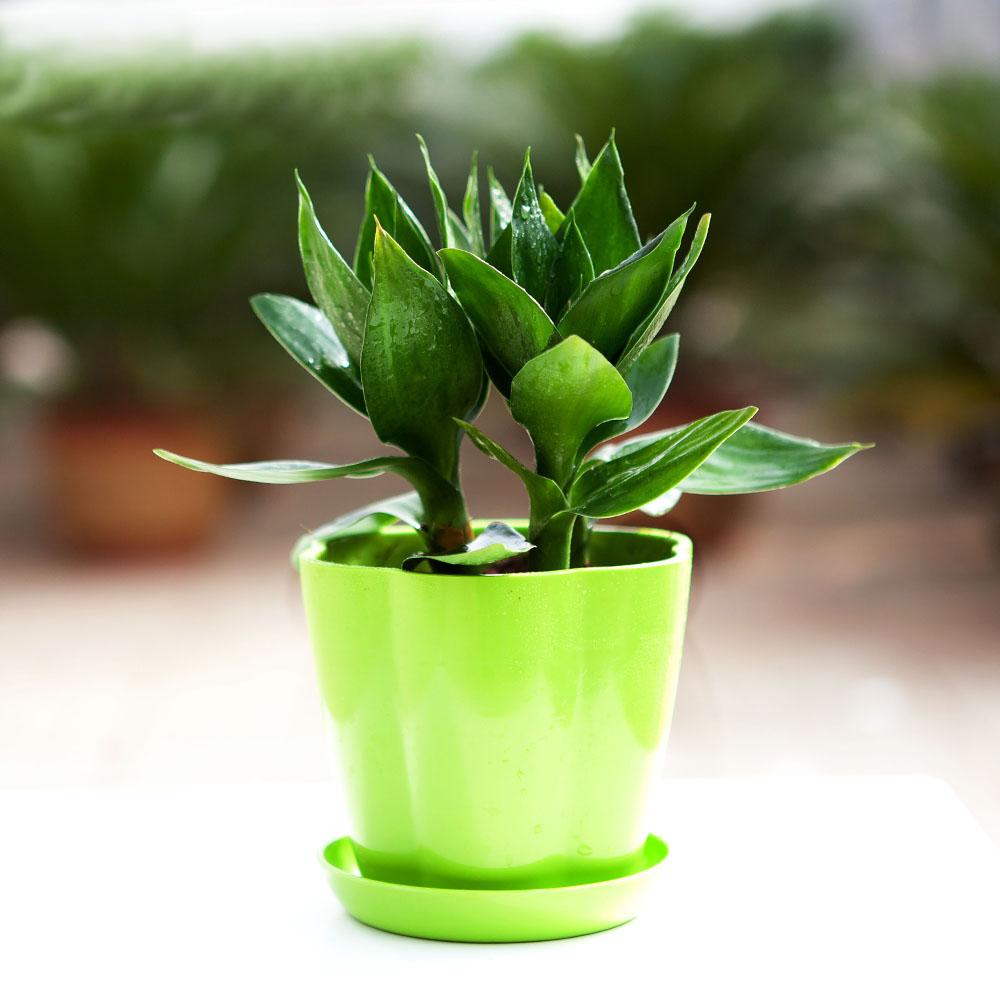 富贵竹的寓意_有什么盆栽植物适合放在家里养? - 知乎