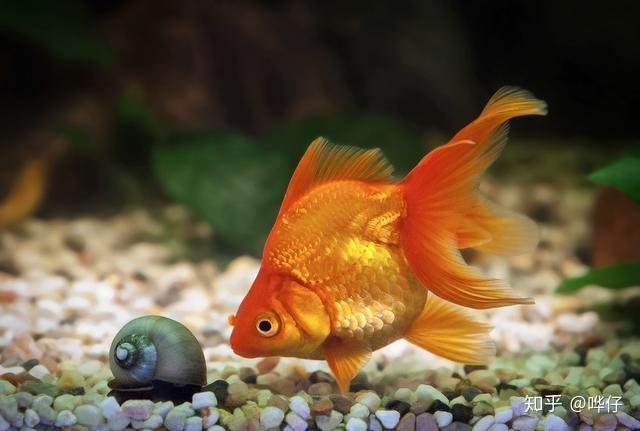 为什么金鱼刚回家就趴缸?你可能犯了天底下养鱼男人都会犯的错误(图4)