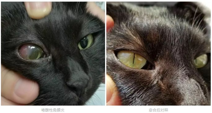 猫咪突然一只眼睛发红睁不开?警惕角膜炎5种常见症状(图5)