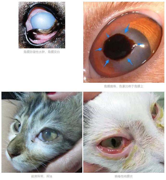 猫咪突然一只眼睛发红睁不开?警惕角膜炎5种常见症状(图3)