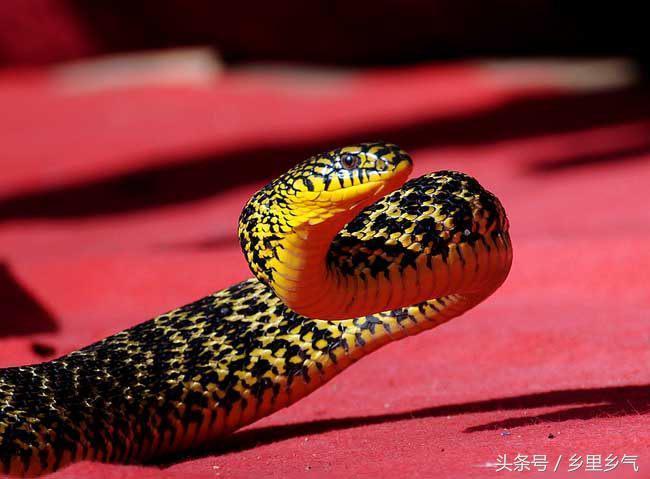 大王蛇养殖视频(大王蛇怎么养呢)