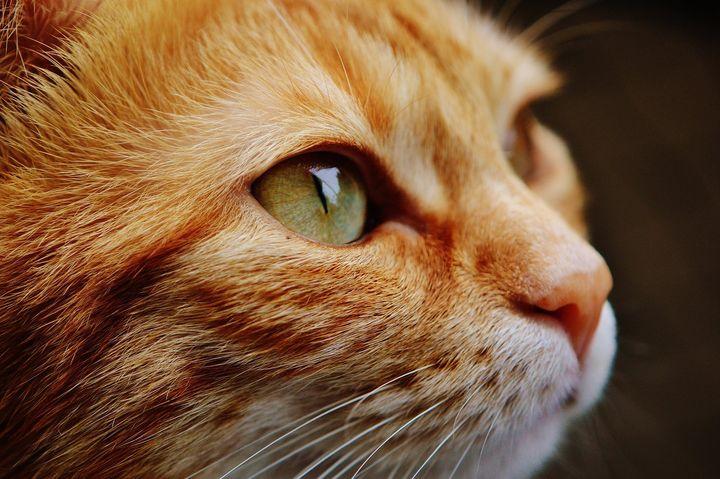 盘点最受欢迎的十种猫咪,你家猫主子上榜了吗?