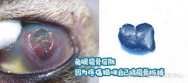 猫咪角膜腐骨(坏死性角膜炎)是什么病?怎么治疗啊?(图15)