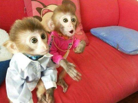 宠物石猴哪里有卖(石猴可以家养吗)
