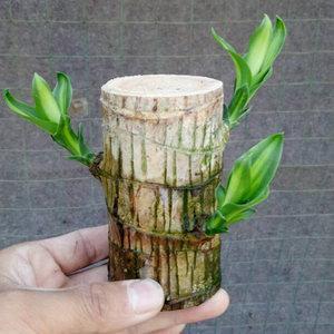 巴西木要一直泡在水里吗(巴西木总烂根吗)插图(4)