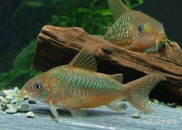 鱼缸清道夫鱼种类繁多,如何选,才能达到水清鱼靓的视觉效果?(图5)