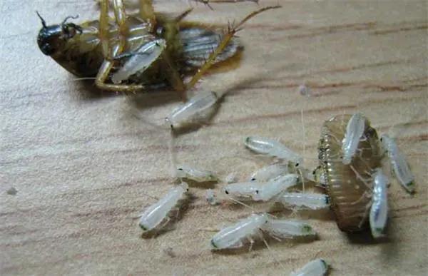 蟑螂怕什么味道不敢来(家里蟑螂怕什么)插图(1)