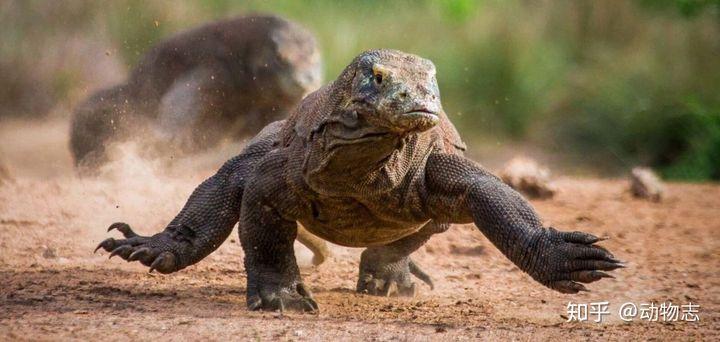 科莫多巨蜥的实力有多强,能打得过花豹吗?(图1)