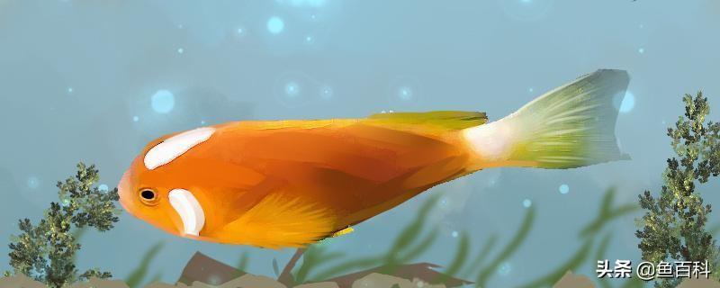 小丑鱼好养吗(小丑鱼怎么养)插图
