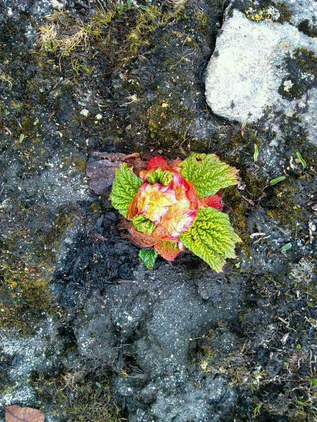 请问这是什么植物?是在青藏高原海拔4500米左右的地方挖的?