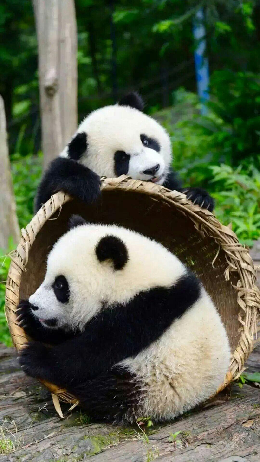 图片壁纸_有没有很喜欢的熊猫图片壁纸? - 知乎