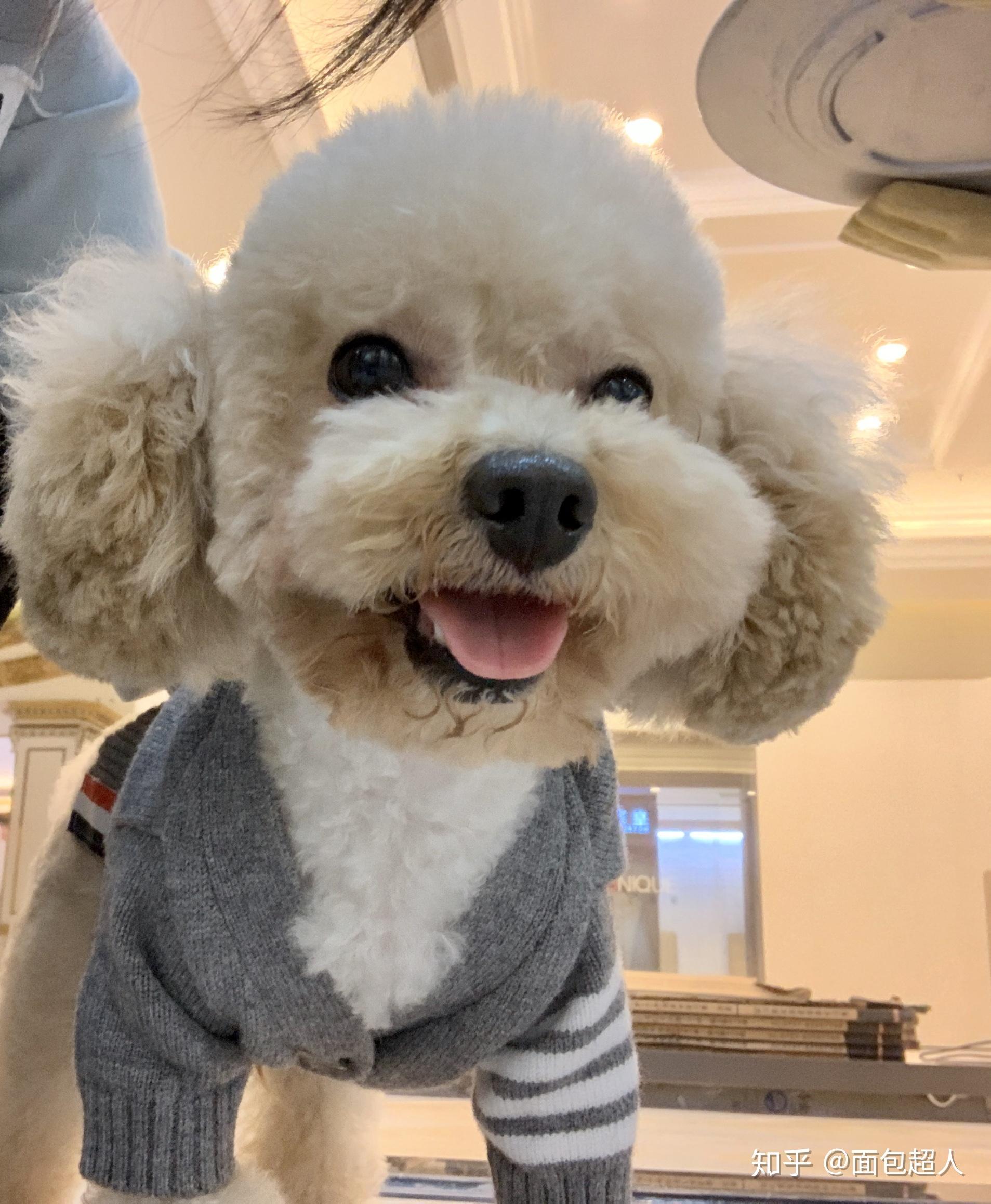 泰迪犬毛色如何变亮?_狗民网