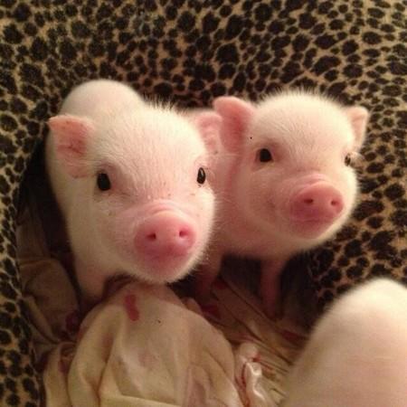 智猪博弈的美好时代