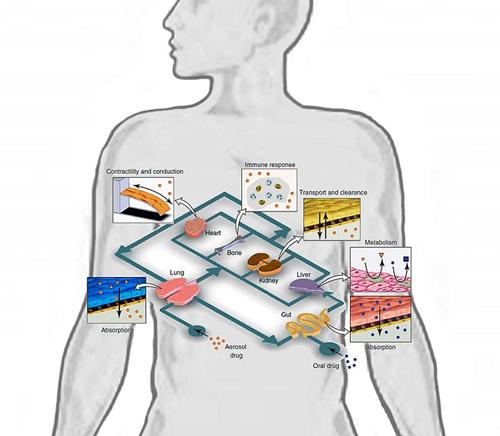 含人体器官_器官芯片介绍实例(五)Human-on-a-chip 人体芯片 - 知乎