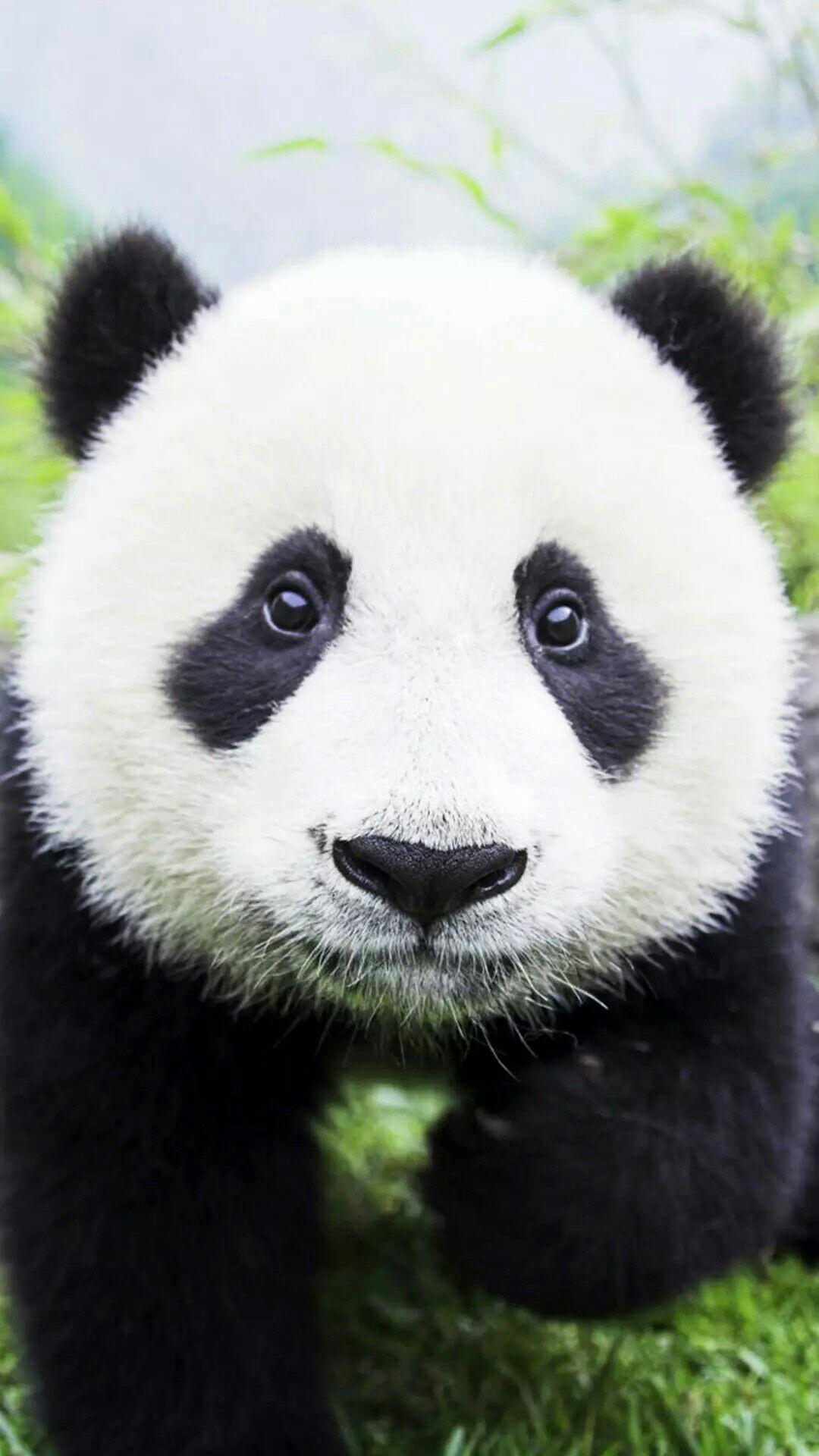 有没有很喜欢的熊猫图片壁纸?