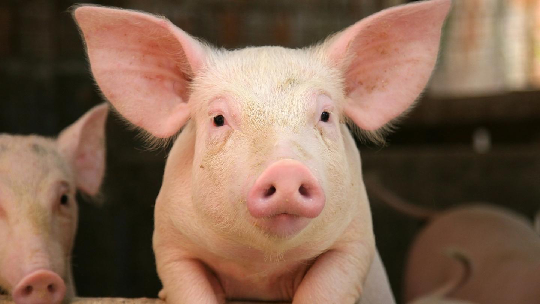 非洲猪瘟来袭,猪肉还能吃吗?