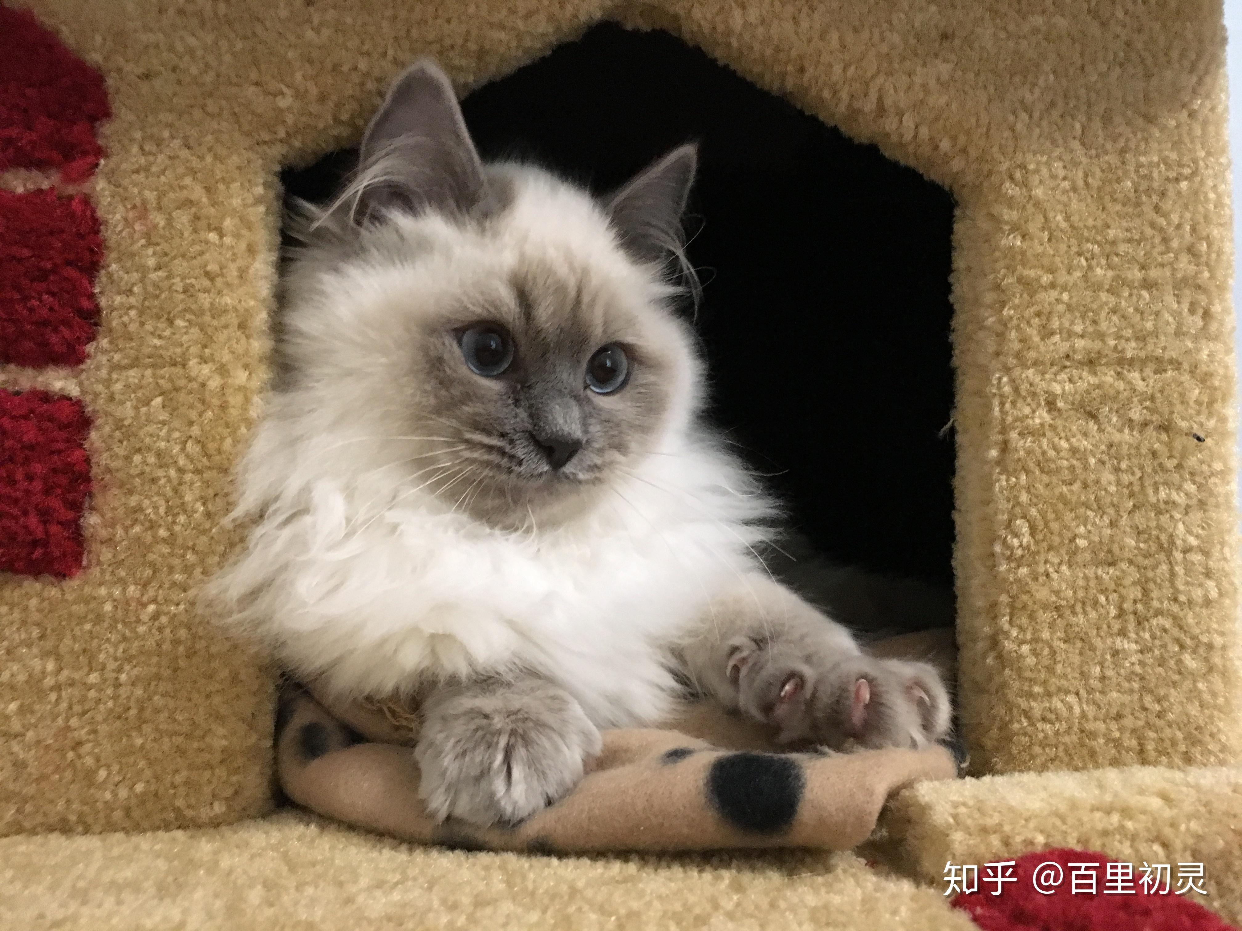 布偶猫真的有尴尬期嘛?