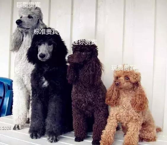 贵宾犬和泰迪的区别3