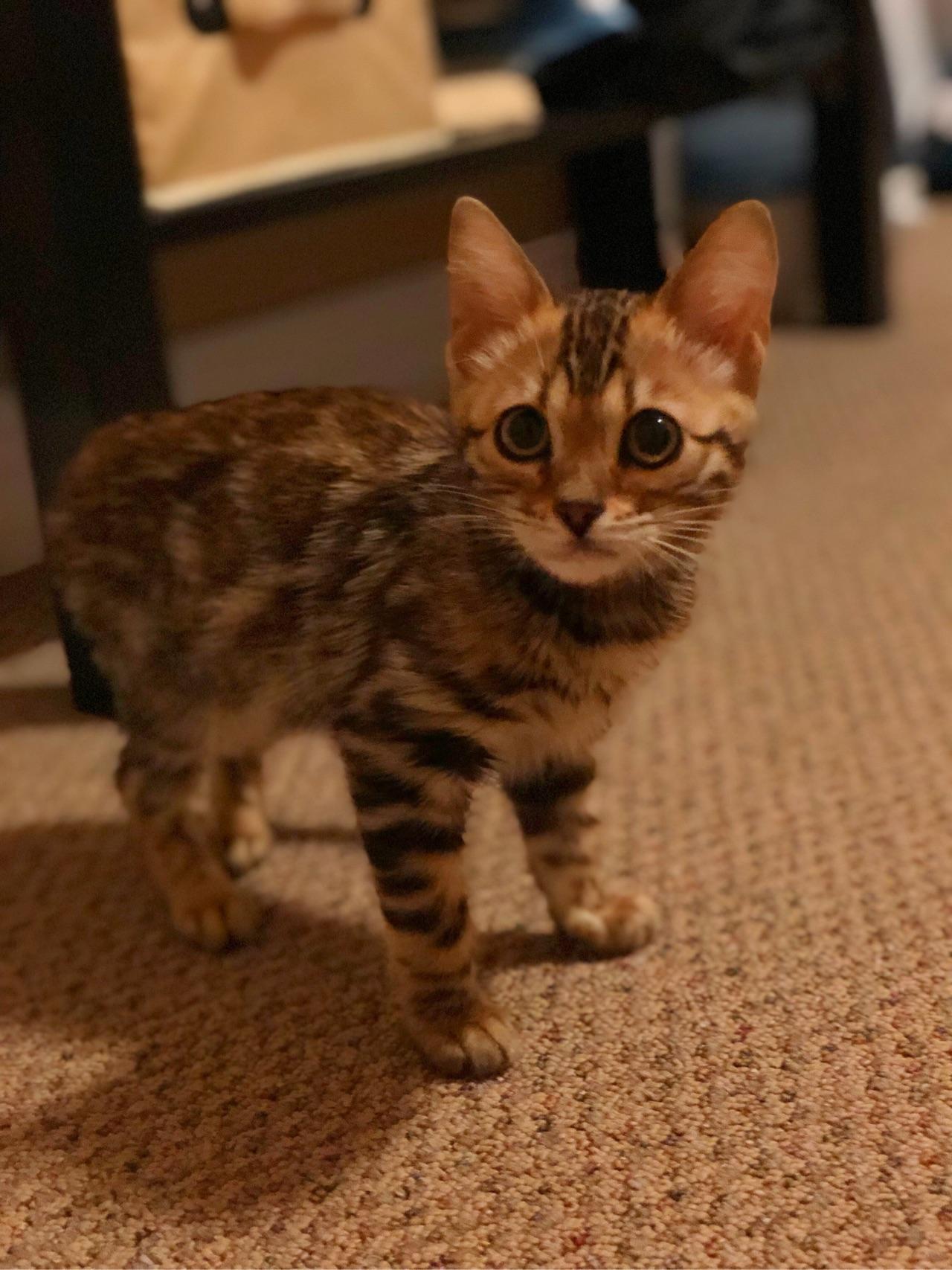 养孟加拉豹猫_养孟加拉豹猫是什么体验? - 知乎