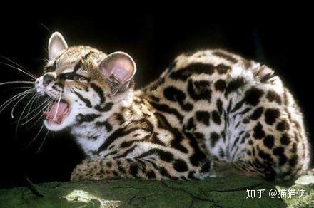 南美洲玻利维亚候_世界十大禁养名猫原来还有它-知乎