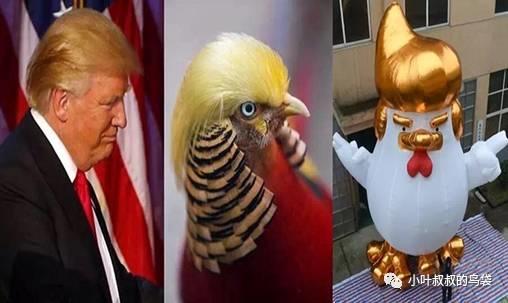 """金鸡贺岁的""""金鸡""""是什么鸡?"""