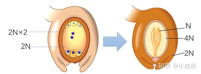 如何判断种子是否已成功受精?