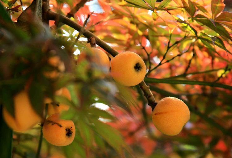 吃银杏好吗_观果植物:果实不是拿来吃的吗,也能观赏? - 知乎