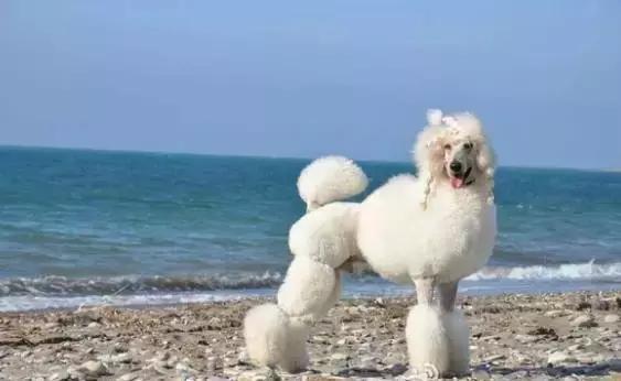 贵宾犬和泰迪的区别10