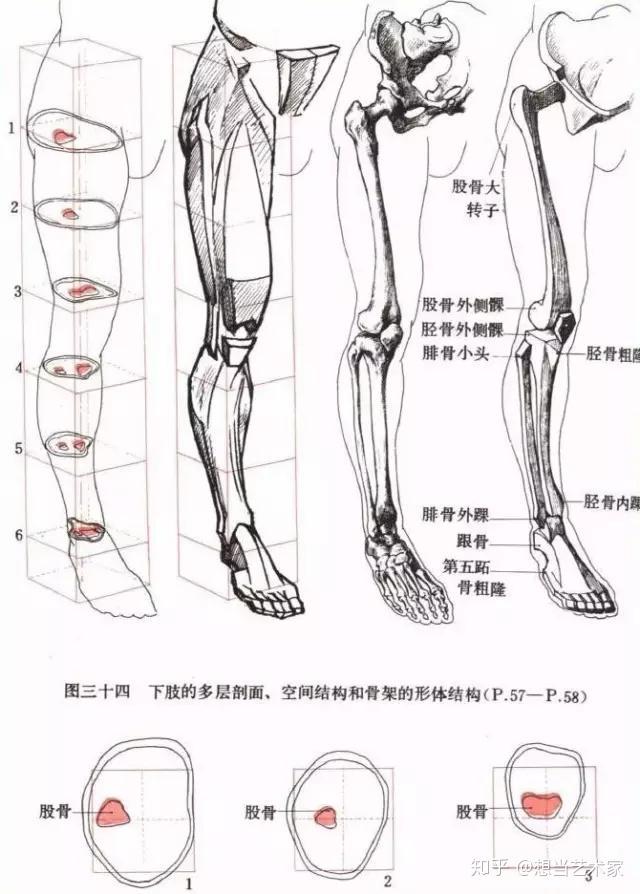 人体肌肉_人体结构| 速写人体结构超详细分析 - 知乎
