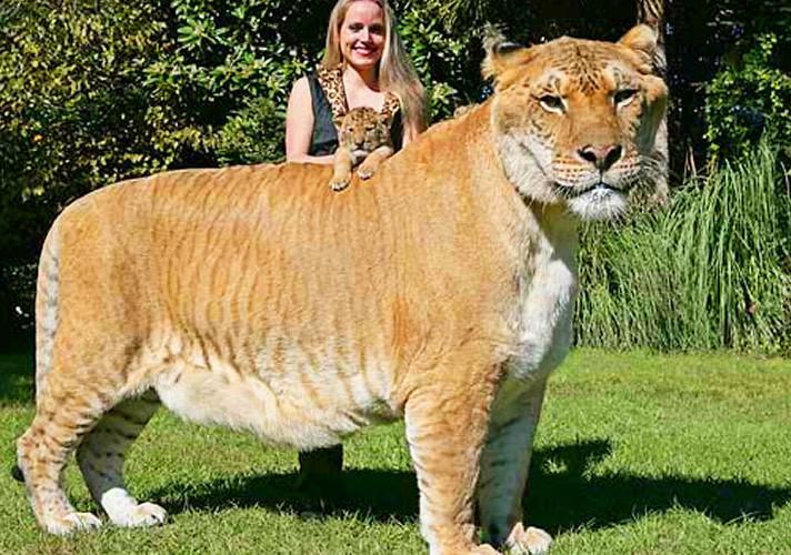 狮虎兽和虎狮兽谁大_狮虎兽和虎狮兽打架谁厉害? - 知乎