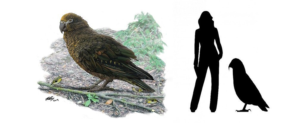 新西兰发现超级鹦鹉化石,身高可达1米!