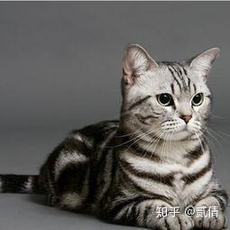 最短的季节_每天带你了解一种猫——美国短毛猫 - 知乎