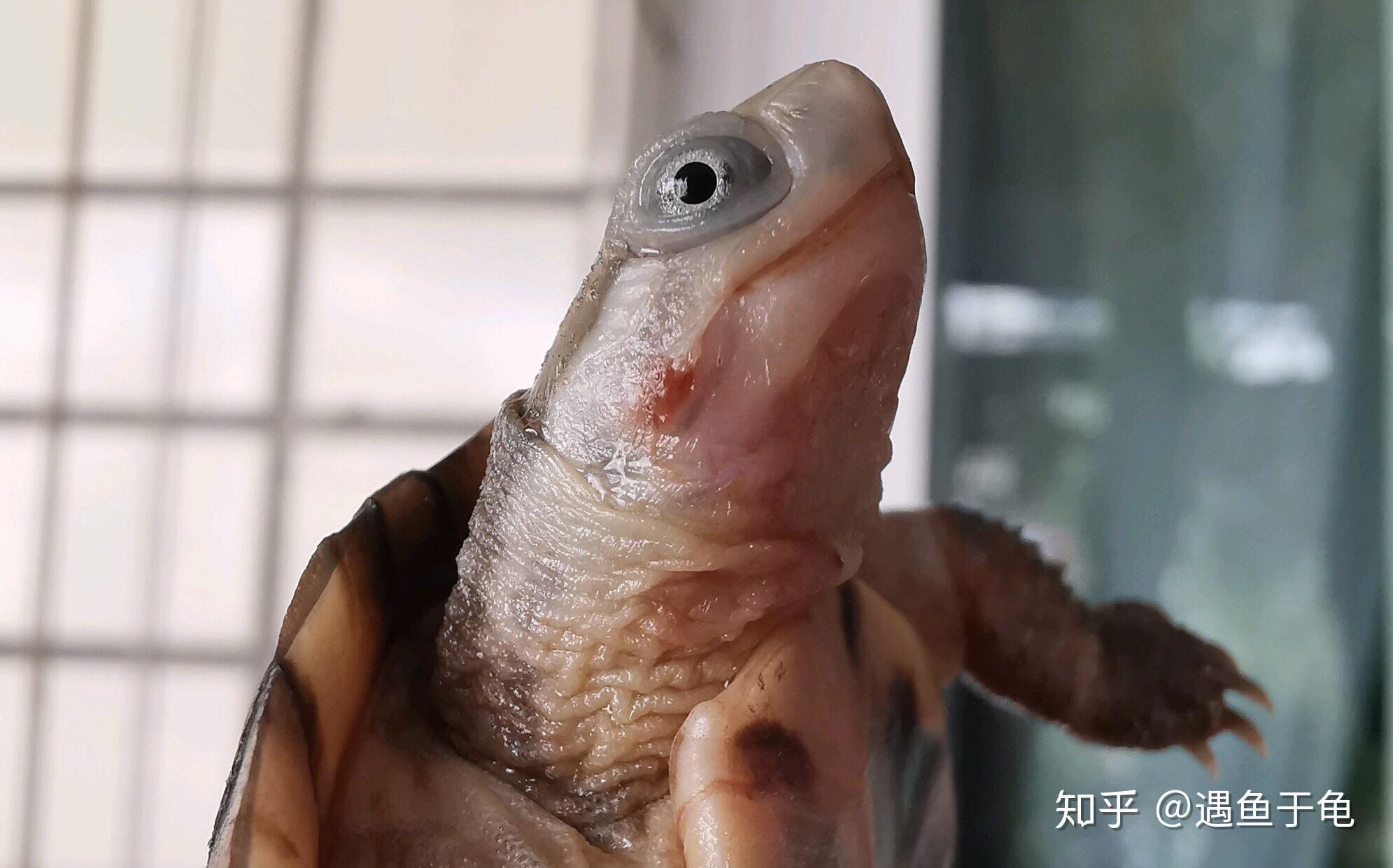 20种龟类常见疾病 养龟必看