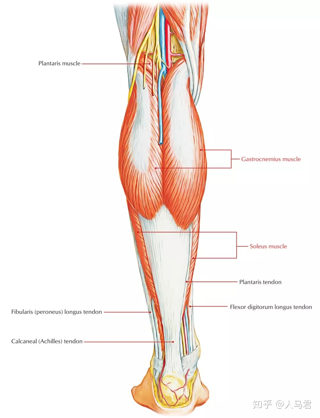 fibularis longus pain - HD 1080×1413