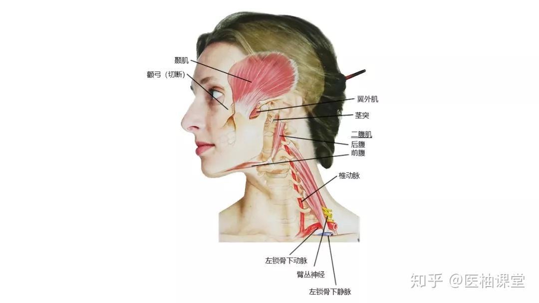 人体肌肉_27张高清解剖图带你认识头、面、颈部骨骼及肌肉名称! - 知乎