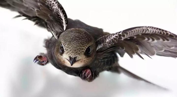 「无脚鸟」存在吗?连睡觉、交配都不落地的那种