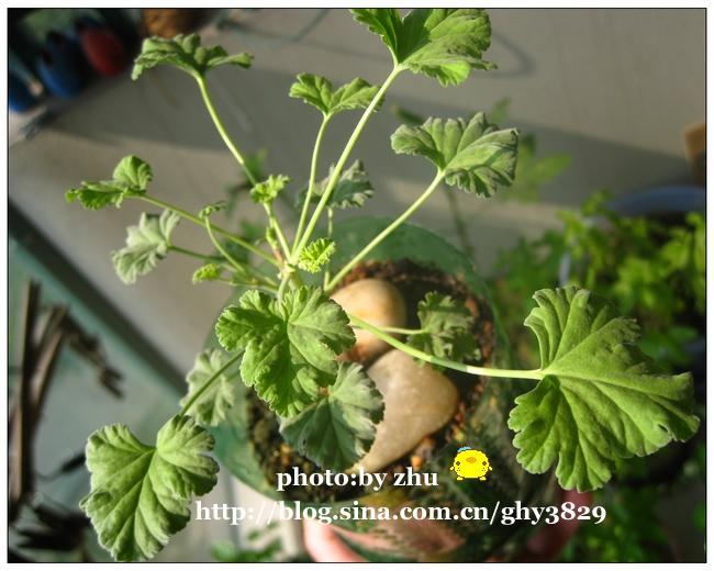 天竺葵图片
